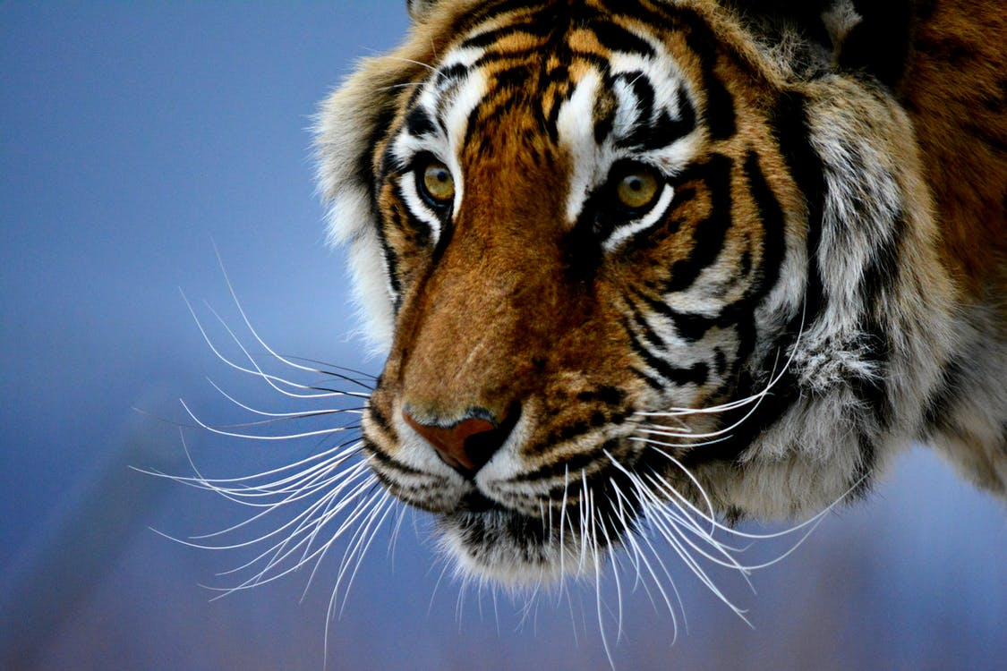 Free stock photo of bigcat, bigcats, stare