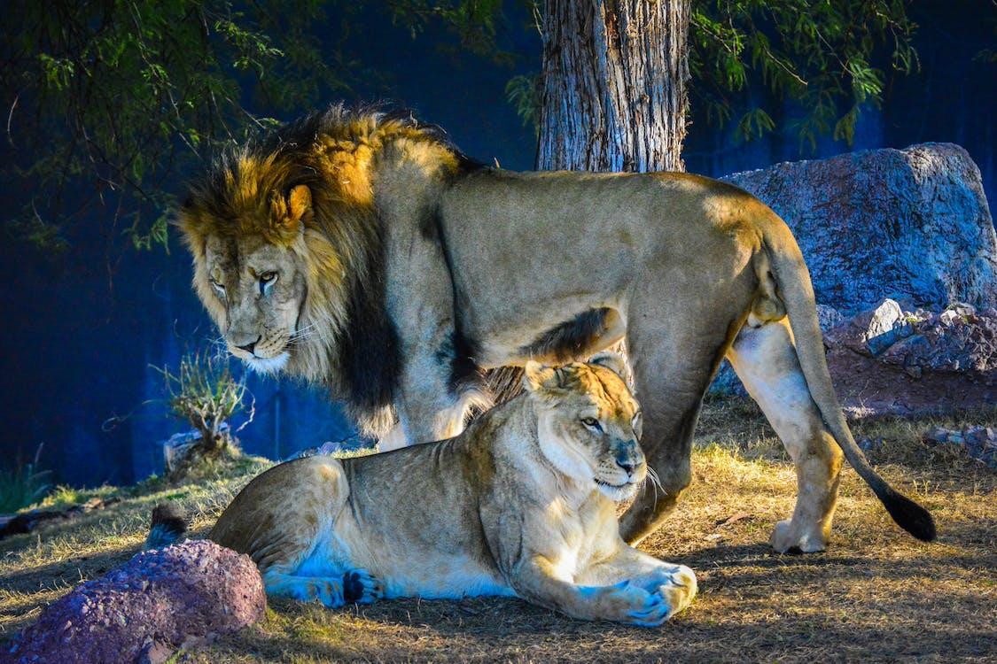 Free stock photo of bigcat, bigcats, femalelion