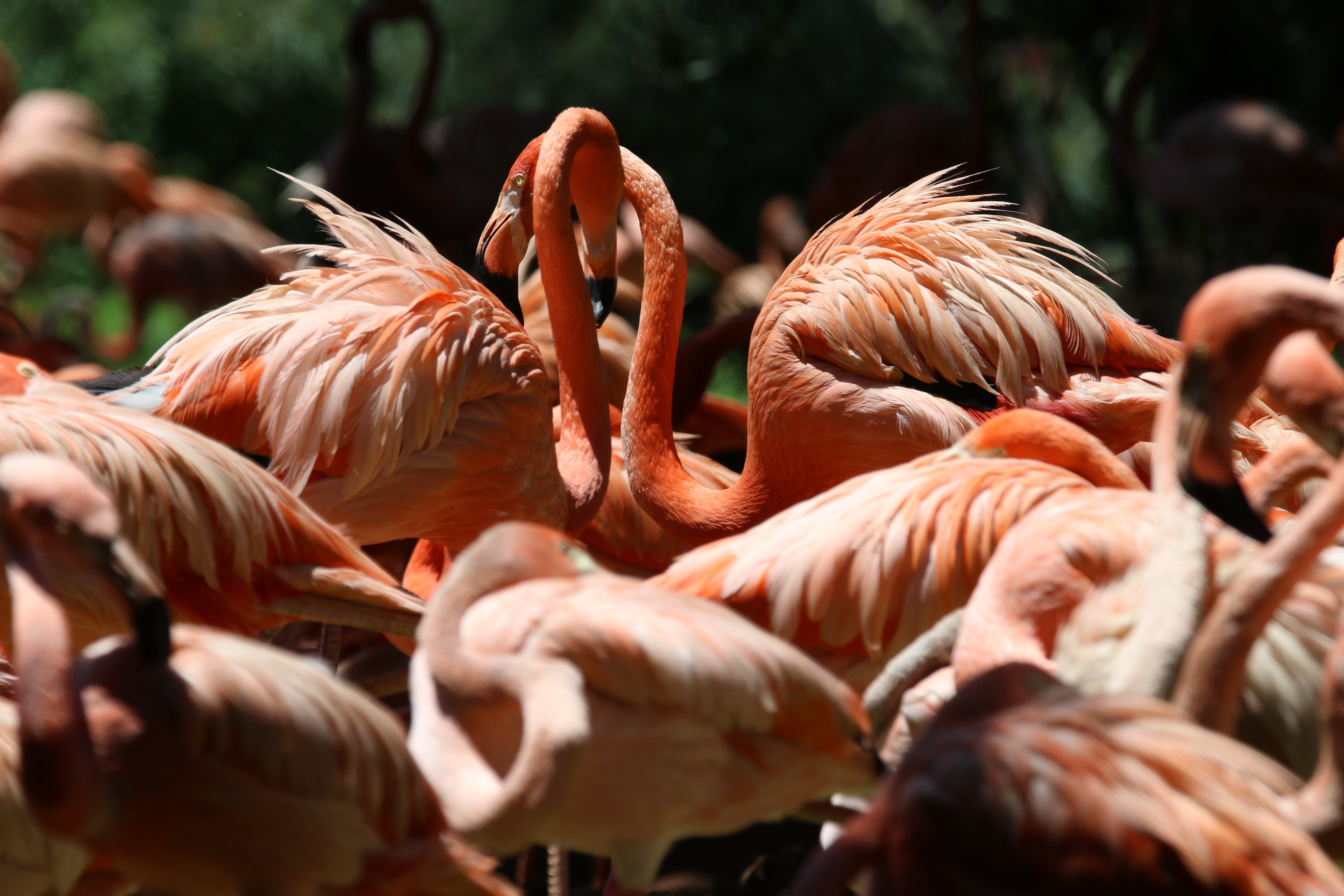 Flock of Lesser Flamingo