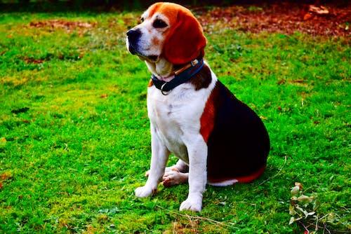 Gratis lagerfoto af beagle