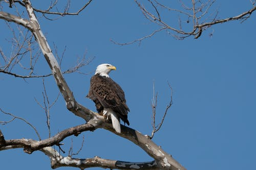 A Bald Eagle Perched on a Tree Branch