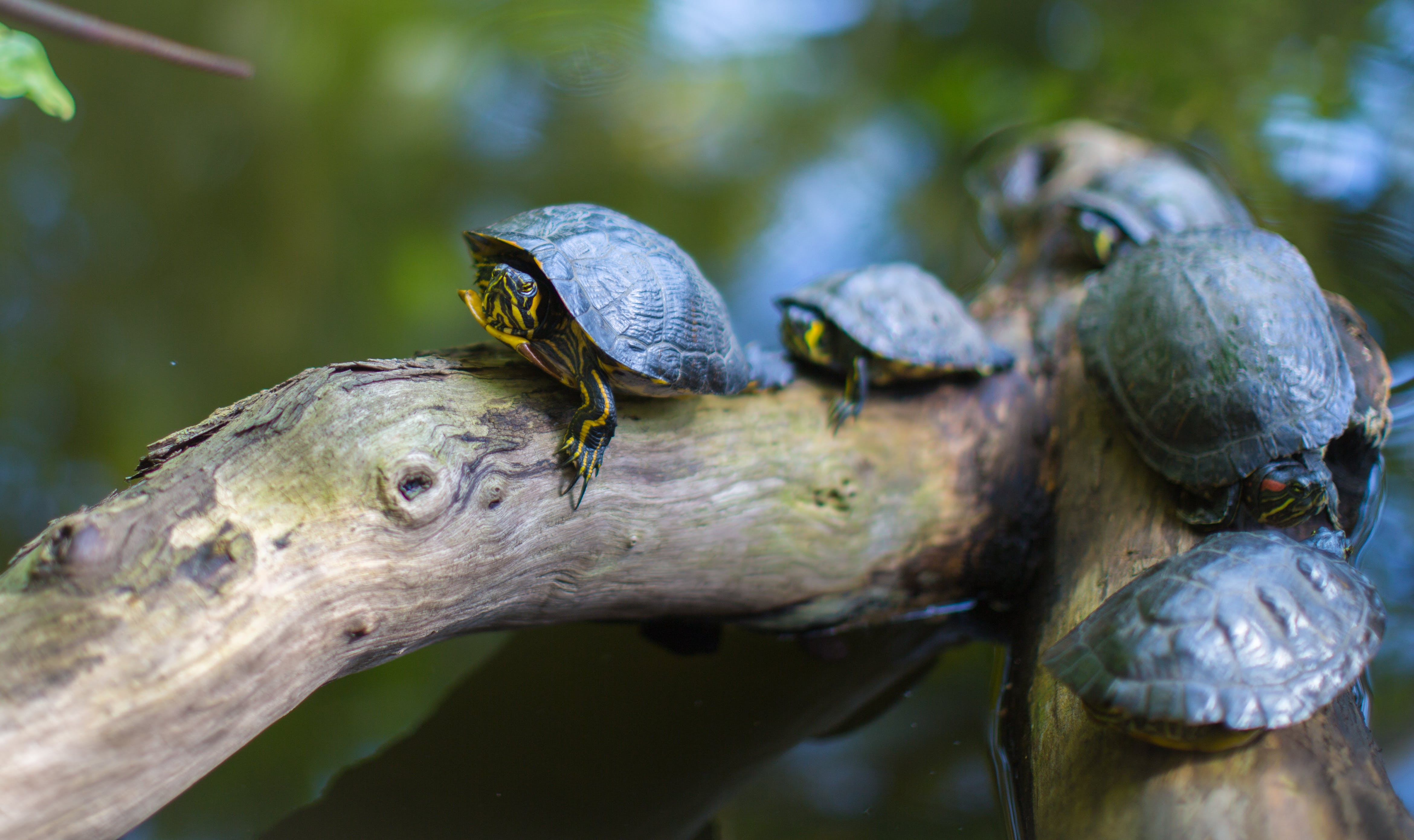 Gray Turtles Crawling on Tree Brunch