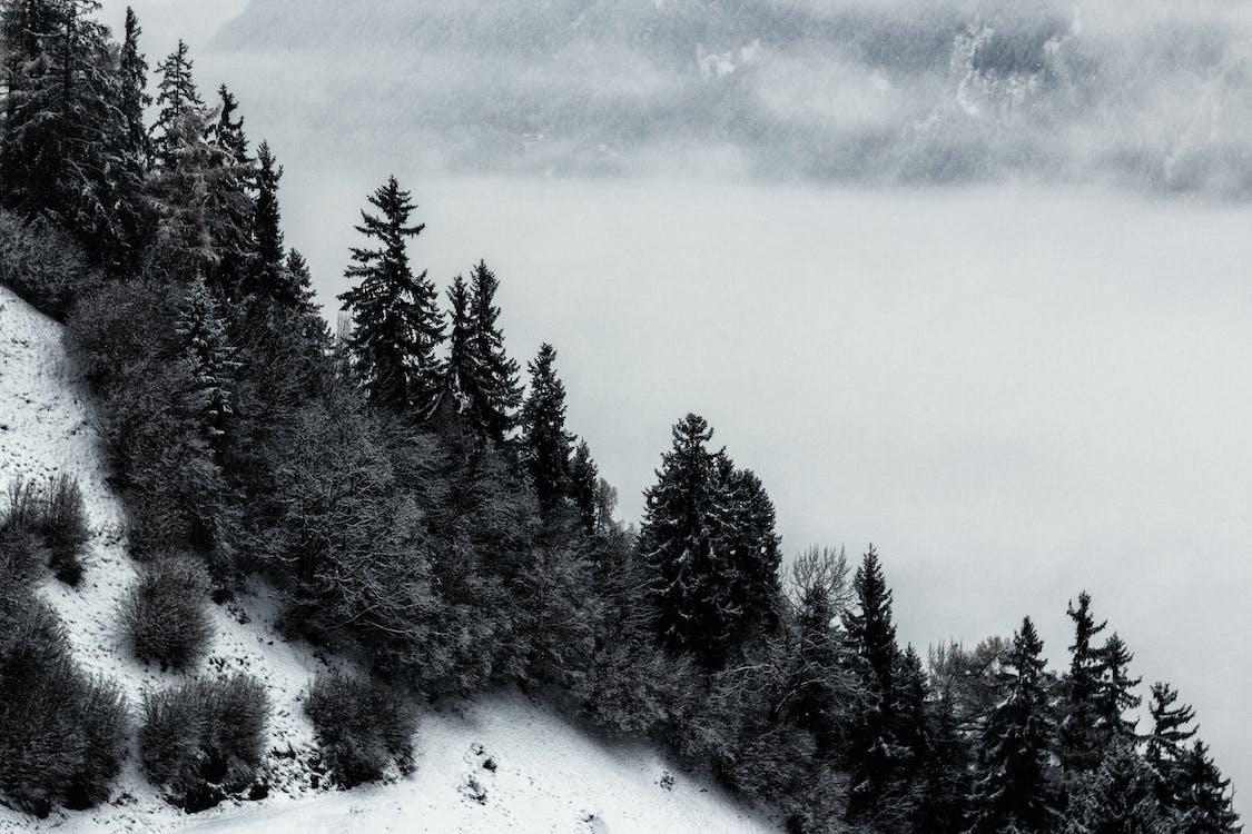 Фото в оттенках серого: сосны и горы