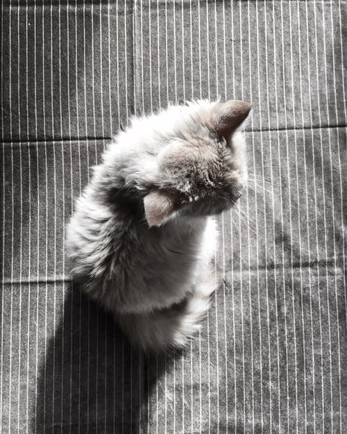 Gray Fur Cat