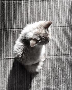 Gray Fur Cat