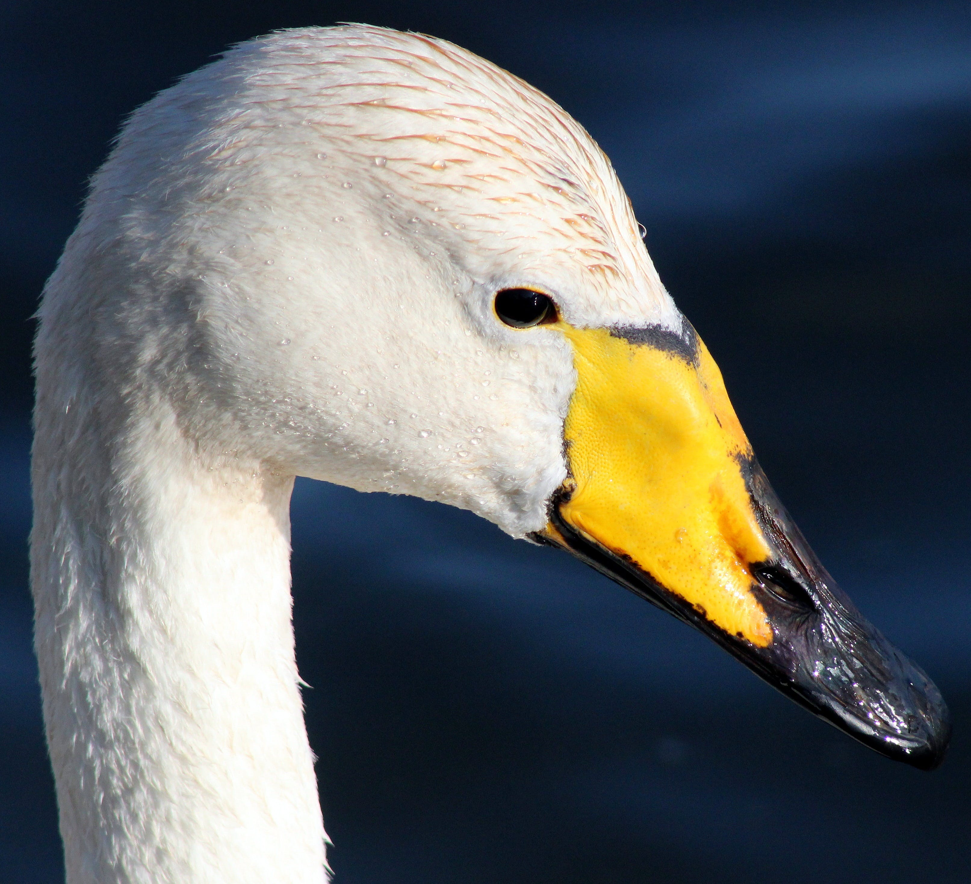 Free stock photo of bird, animal, beak, swan