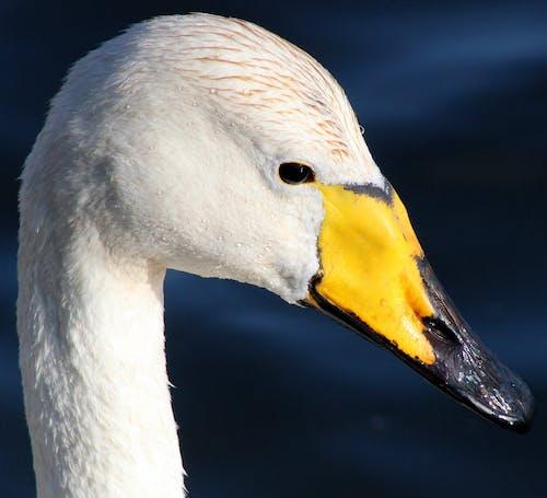 White and Yellow Beach Duck