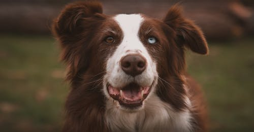 Adorable chocolate Border Collie with heterochromia standing on grassy meadow and looking at camera with opened mouth
