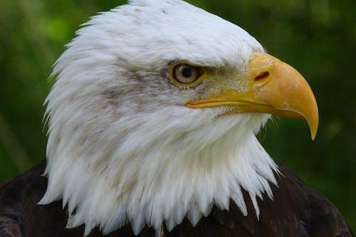 Foto d'estoc gratuïta de adler aviari, àguila calba, animal, au rapinyaire