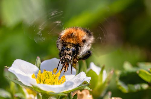 Free stock photo of animal, bumblebee, close up view