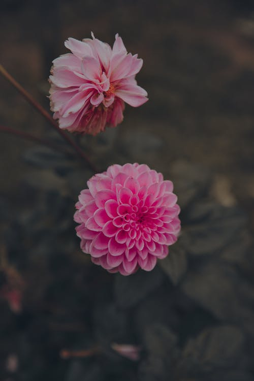 Free stock photo of flower, nature, pink