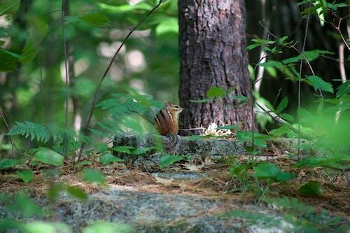 Free stock photo of animals, chipmunk, nature, squirrel
