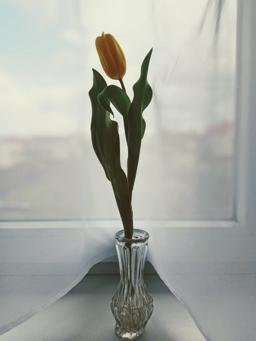 Blossoming tulip in decorative vase on windowsill in house