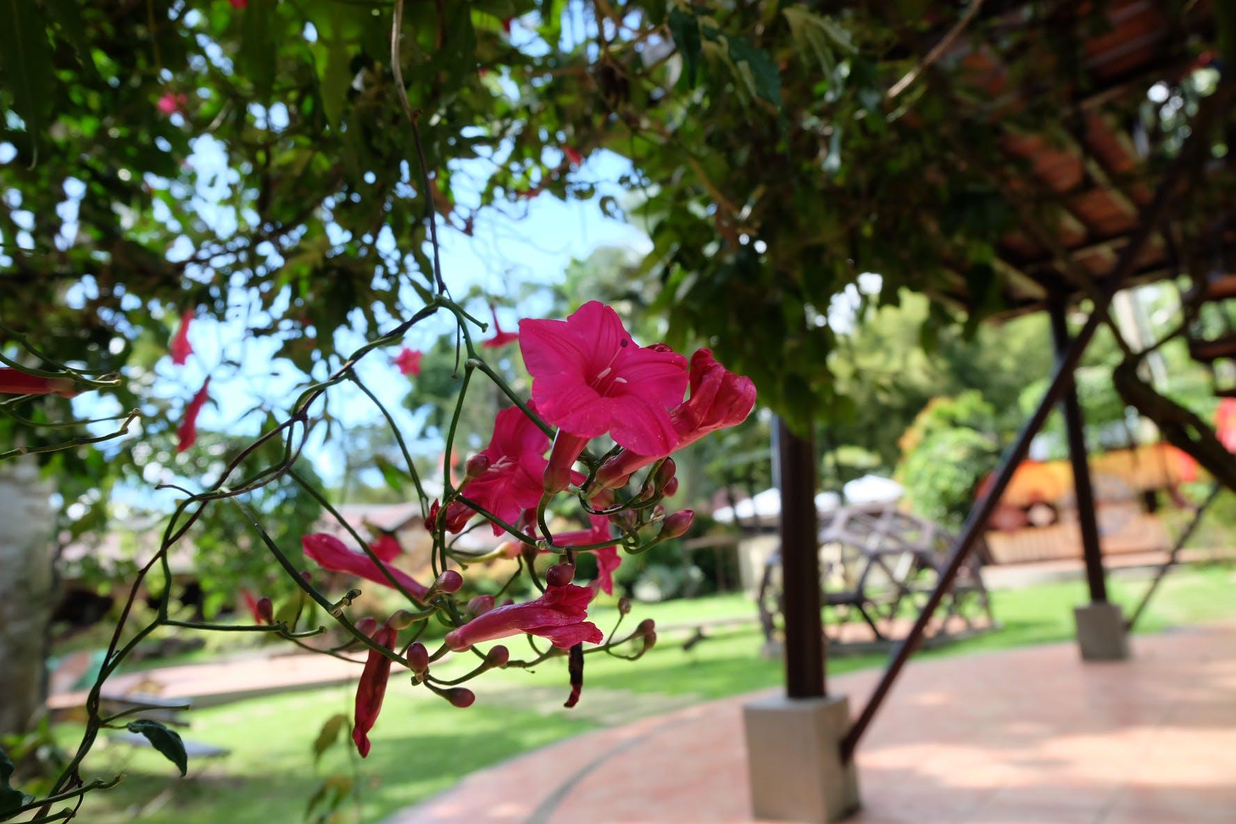 Free stock photo of beautiful flowers, dark pink, flower, nature