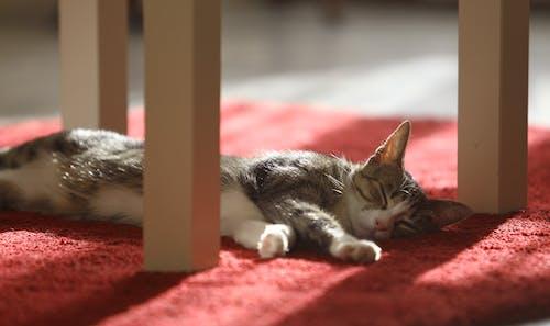 Fotos de stock gratuitas de gatito, gato, gato domestico