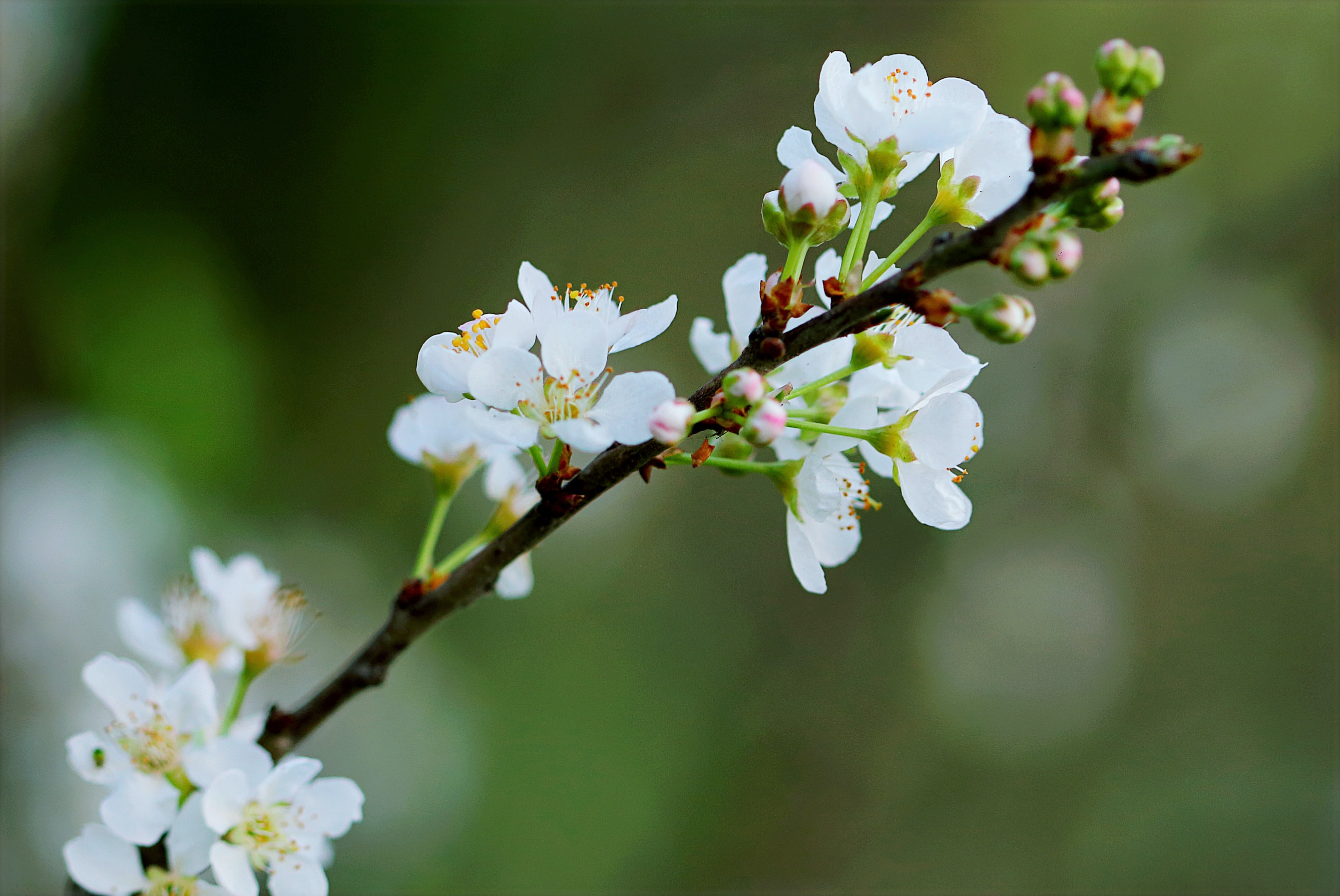 Selective Focus Photography of White Cherry Blossoms ...