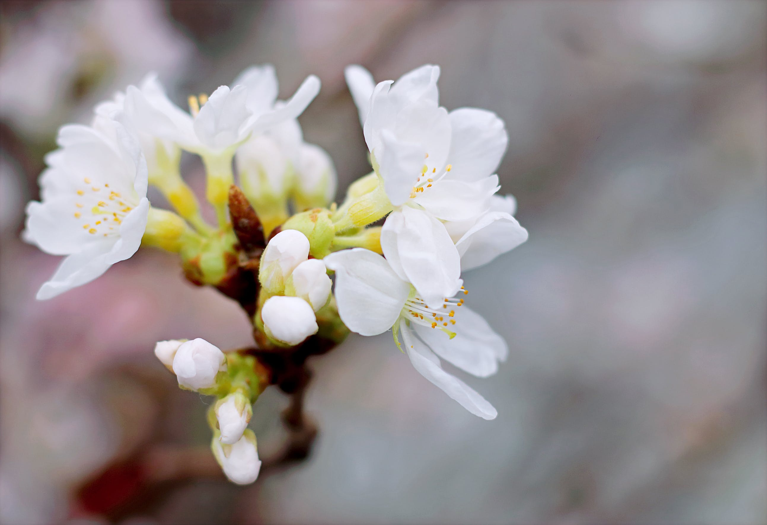White Cherry Blossoms in Bloom Close-up Photo