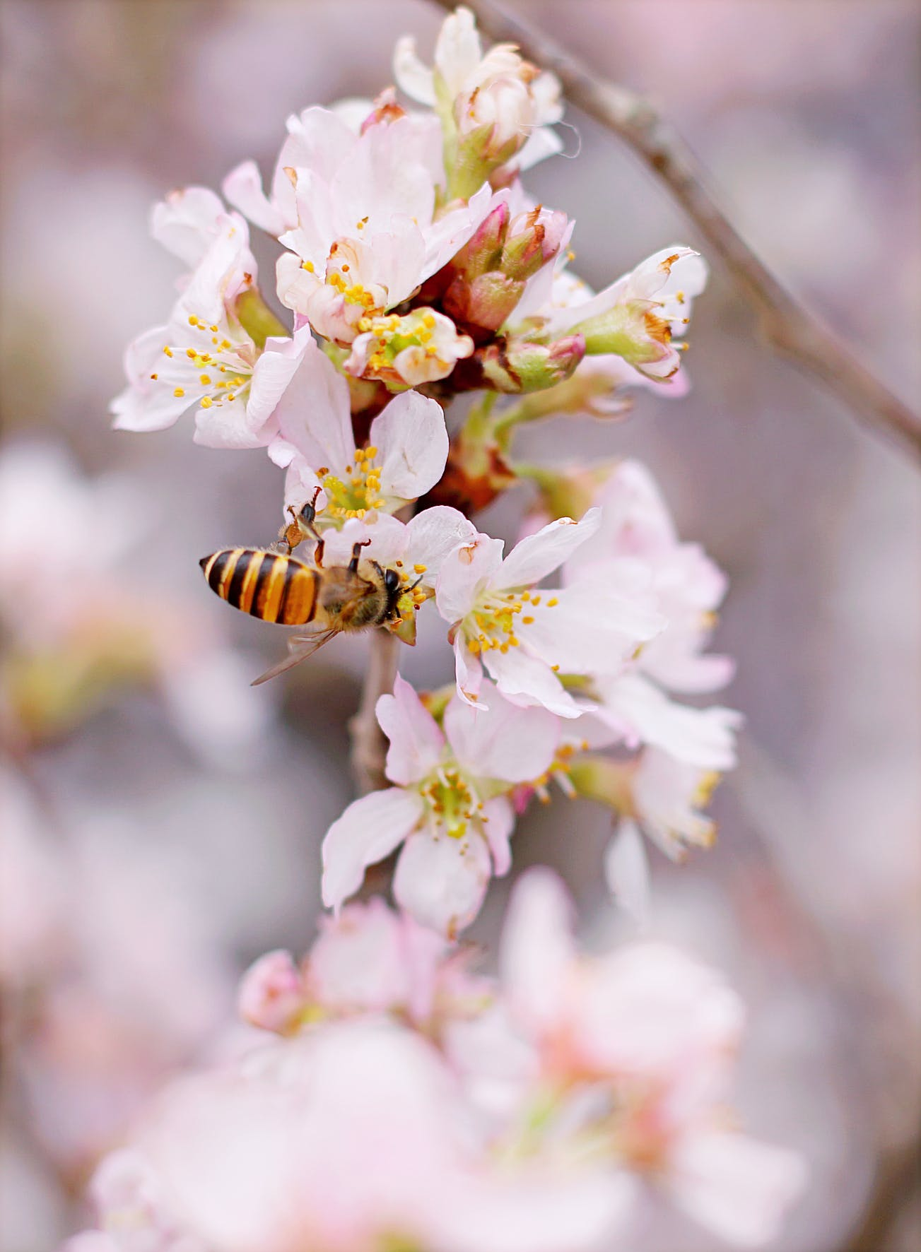 Closeup Photo of Honeybee Perched on Pink-and-white Cluster Flowers