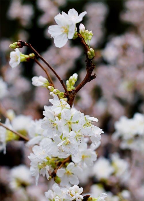 Imagine de stoc gratuită din anotimp, arbore, boboci de flori, creangă