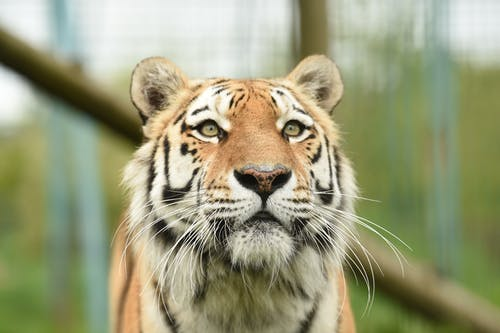 Tiger in Close Up Photography