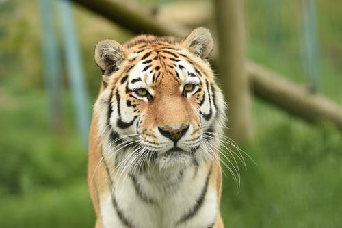 Close-Up Shot of a Tiger
