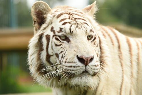 White and Black Tiger on Green Grass