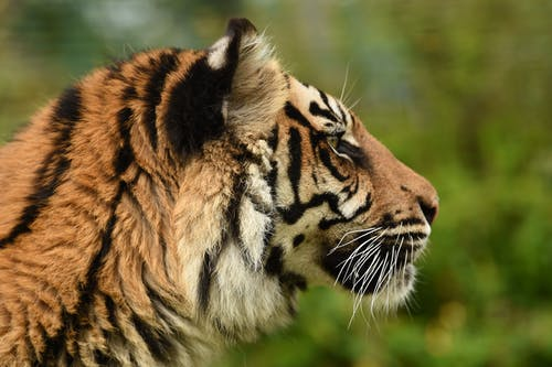 Brown and Black Tiger in Close Up Photography