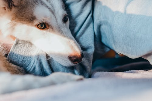 White and Gray Siberian Husky Puppy on Blue Textile