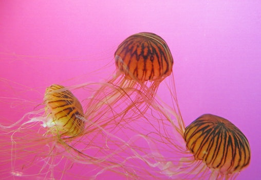 Three Brown-and-black Jellyfishes