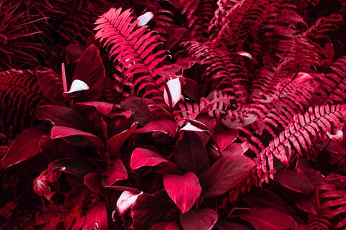 Background of fern leaves in red color