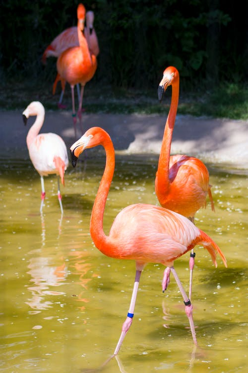 Kostenloses Stock Foto zu flamingo, flamingos, tier, zoo