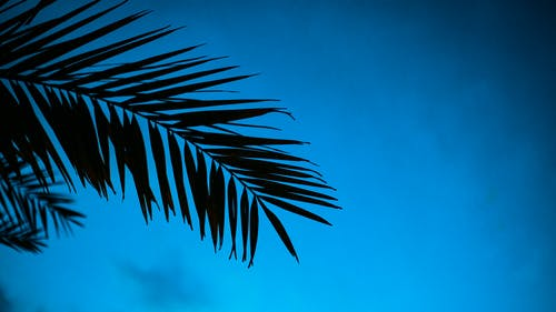 From below of branches of tropical palm growing in nature against cloudless blue sky