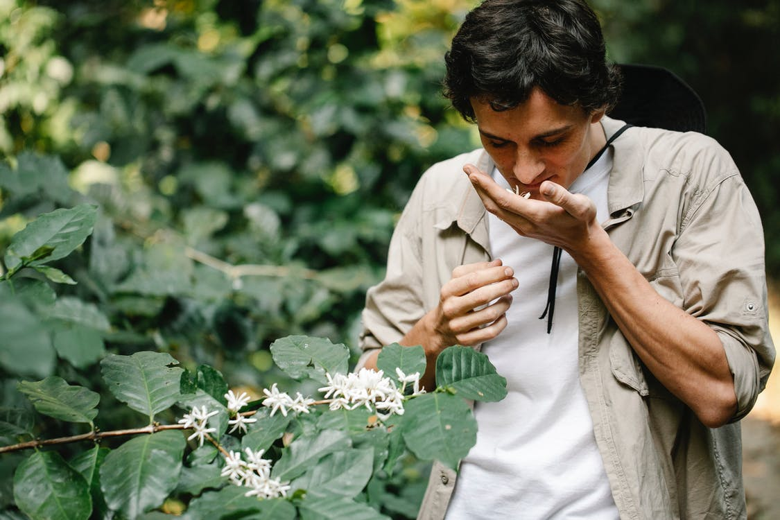 Horticulturist smelling blooming Arabian coffee flower on plantation