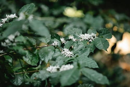 Blossoming arabica coffee plant with white flowers and lush green leaves with veins in daytime