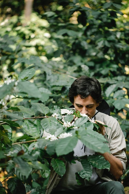 Male horticulturist enjoying scent of blooming Arabian coffee flower on shrub with lush green leaves in daylight