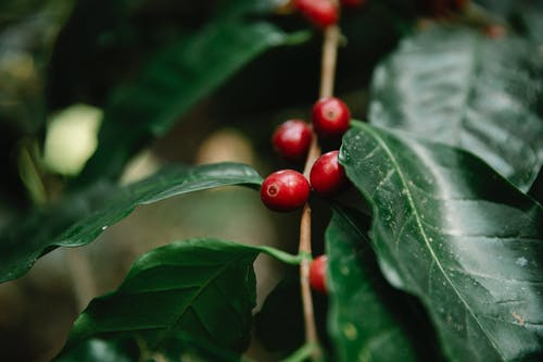 Red coffee berries growing on tree branch