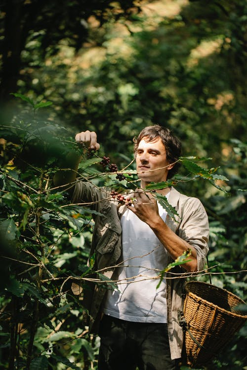 Harvester collecting arabica coffee fruits from shrub in countryside