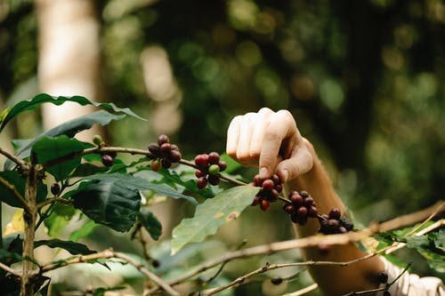 Crop farmer picking arabica coffee berries from plant in countryside