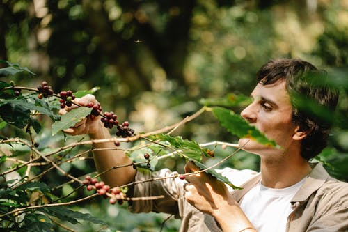 Harvester picking arabica coffee berries from plant in countryside