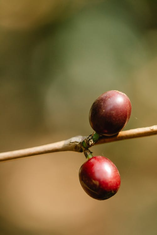 Brown coffee cherries on shrub stalk growing on plantation in sunlight on blurred background