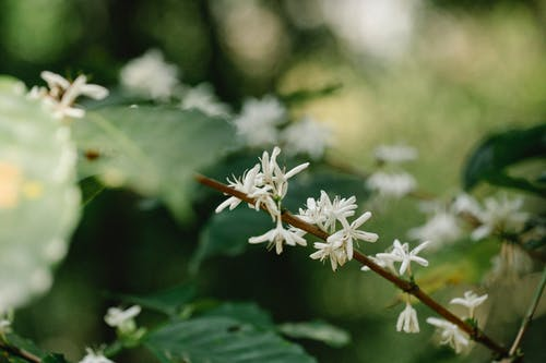 Arabica coffee shrub with blooming white flowers on stem growing on plantation on blurred background
