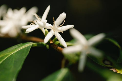 Blossoming white flowers with gentle petals growing on arabica coffee shrub in sunlight on black background