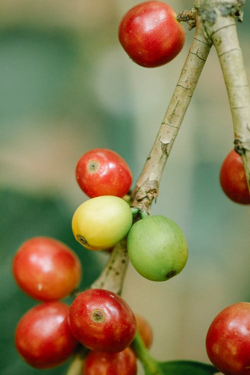Coffee fruits on plant stem in countryside