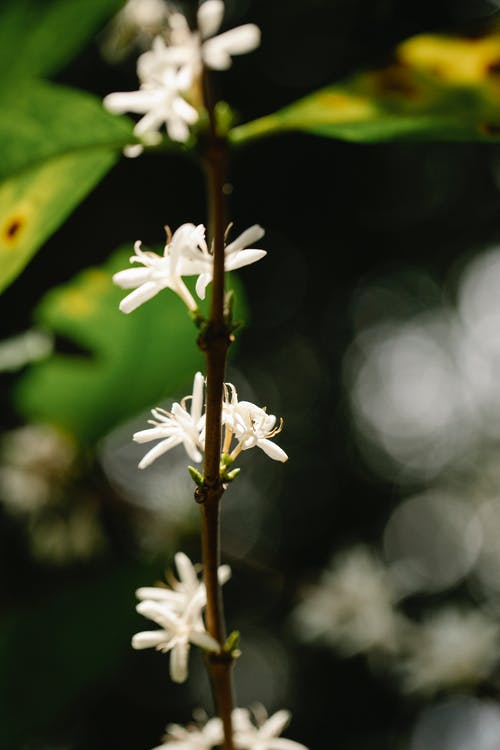Stalk of Arabian coffee plant with blossoming white flowers with pleasant scent growing in countryside on sunny day