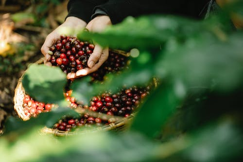 Unrecognizable farmer harvesting red coffee berries in forest