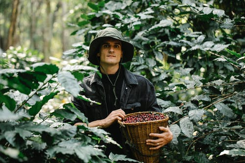 Young male horticulturist collecting ripe berries in lush green garden