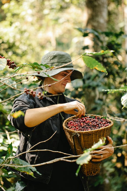 Young male horticulturist picking red coffee beans in garden