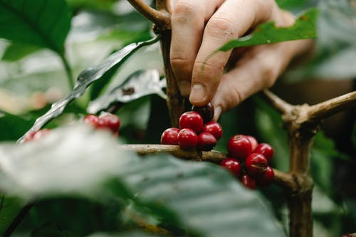Crop farmer harvesting red berries from green bush in countryside