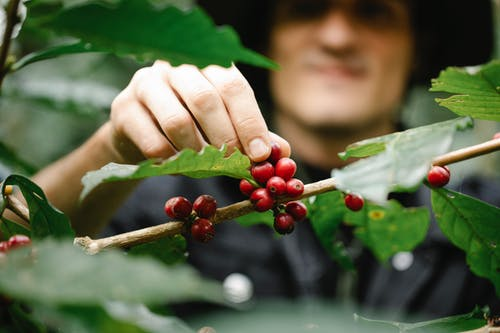 Concentrated male farmer harvesting coffee berry in lush woods