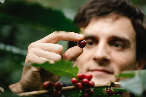 Delighted adult male harvester looking at collected red ripe coffee ban while standing near green tree in farm